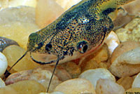 African Clawed Frog Tadpole