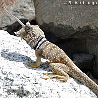 collared lizard eating mouse
