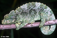Yellow-crested Jackson's Chameleon
