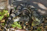 California Alligator Lizards