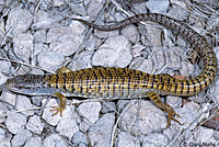 Shasta Alligator Lizard