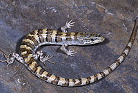 Panamint Alligator Lizard