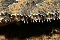 Coast Horned Lizard fringe