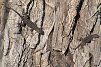 San Joaquin Fence Lizards