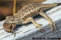 fence lizard with ticks