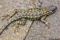Northwestern Fence Lizard
