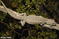 Long-tailed Brush Lizard