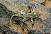 Nevada Side-blotched Lizard