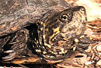 sonoran mud turtle
