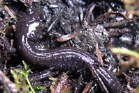 Siskiyou Mountains Salamander