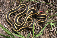 Mountain Gartersnake