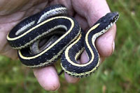 Mountain Gartersnakes