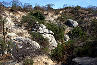 Cape Spiny Lizard habitat