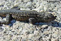 Baja California Brush Lizard
