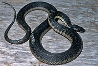 West Coast Gartersnake