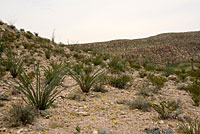 Round-tailed Horned Lizard habitat