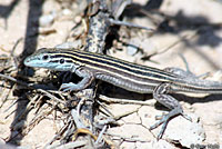 Trans-Pecos Striped Whiptail