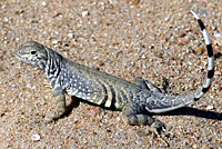 Texas greater earless lizard