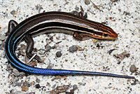 Southeastern Five-lined Skink