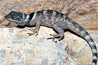 texas crevice lizard