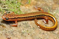 Blue Ridge Two-lined Salamander