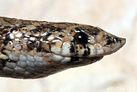 Chihuahuan Hook-nosed Snake