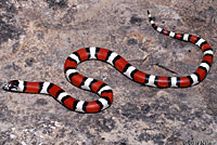 Central Plains Milksnake