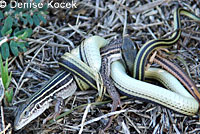 Texas Patch-nosed Snake eating Texas Spotted Whiptail