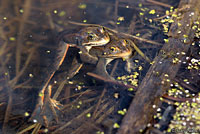 co spotted frogs