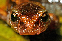 Western Red-backed Salamander