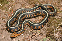 Red-spotted Gartersnake