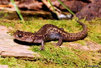 Sacramento Mountains Salamander