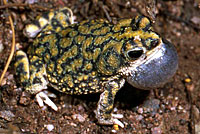 Sonoran Green Toad