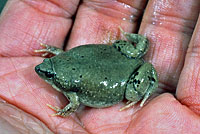 Great Plains Narrow-mouthed Toad