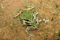 Arizona Treefrog