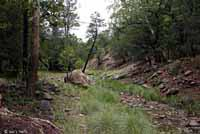 Arizona Alligator Lizard habitat
