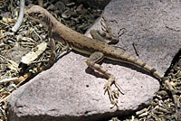 Eastern Zebra-tailed Lizard