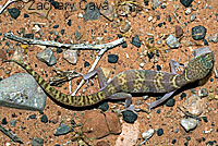 Tucson Banded Gecko