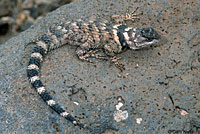 New Mexico Crevice Spiny Lizard