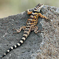New Mexico spiny lizard