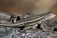 Striped Plateau Lizard