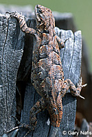 Schott's Tree Lizard