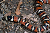 Knobloch's Mountain Kingsnake