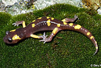 Yellow-blotched Ensatina
