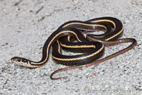 California Striped Racer