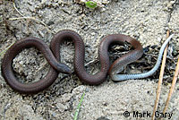 Forest Sharp-tailed Snake