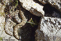 great basin rattlesnake