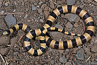 Nevada Shovel-nosed Snake