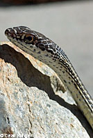 Desert Striped Whipsnake