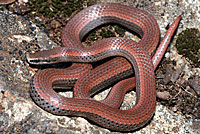 Sharp-tailed Snake